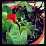 Una planta anturio.
