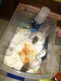 Crías de Hamster ruso  menos de 1 mes de nacimiento