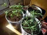 Plantas de patata