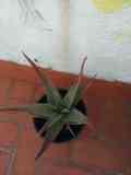 Aloe Vera. Real