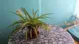 Cinta o planta araña