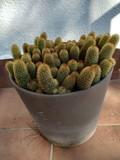 Maceta cactus